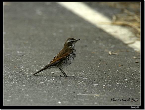 斑點鶇(2009-01-02宜蘭塭底)5454