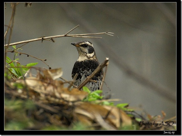 斑點鶇(2009-01-04塭底)5836