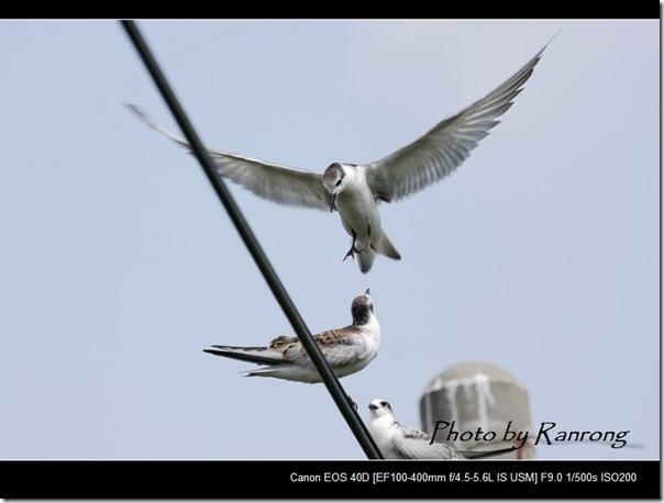 黑腹燕鷗(2008-10-04壽豐養殖區)8631