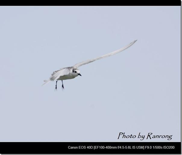 黑腹燕鷗(2008-10-04壽豐養殖區)8628