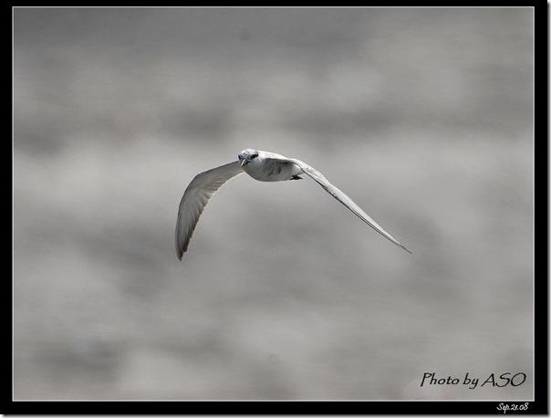 黑腹燕鷗(2008-09-21太平溪口)0950