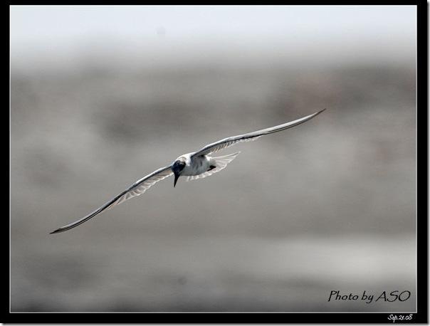 黑腹燕鷗(2008-09-21太平溪口)0955