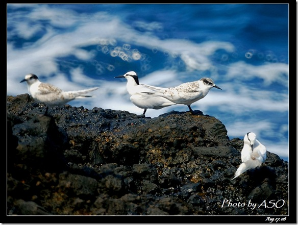 蒼燕鷗(2006-08-17綠島)0092