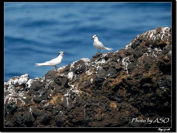 蒼燕鷗(2006-08-17綠島)0079