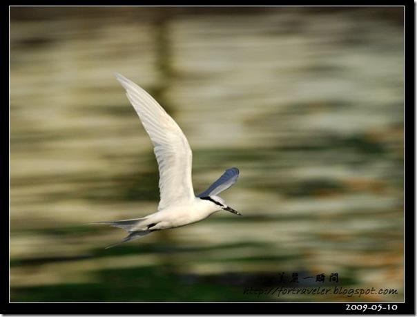 蒼燕鷗(2009-05-10大溪漁港)0588