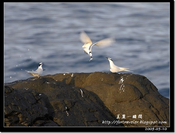 蒼燕鷗(2009-05-10大溪漁港)0644