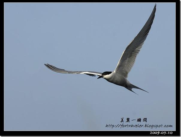 燕鷗(2009-05-10大溪漁港)0602