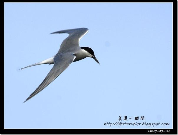 燕鷗(2009-05-10大溪漁港)0609