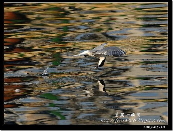 燕鷗(2009-05-08大溪漁港)5835