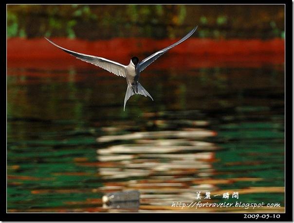 燕鷗(2009-05-08塭底)5793
