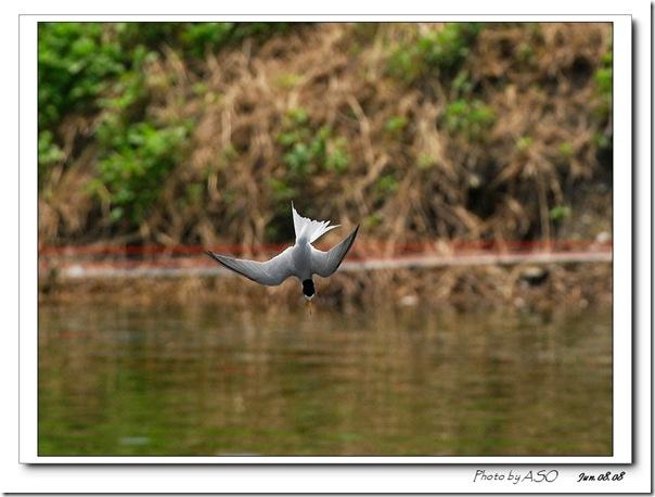 小燕鷗(2008-06-08壽豐)0110
