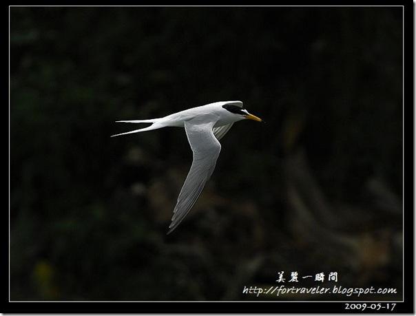 小燕鷗(2009-05-17豐坪)1055