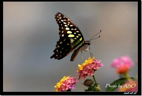 綠斑鳳蝶7976