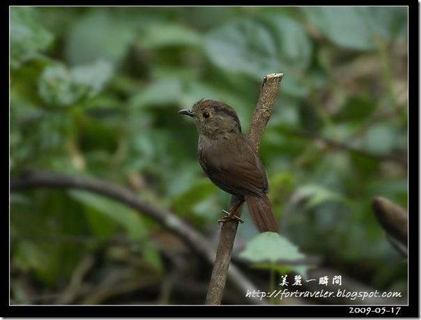 頭烏線(2009-05-17鯉魚山)0990