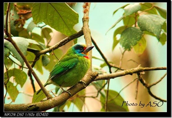 五色鳥(2007-01-14壽豐林場)0104