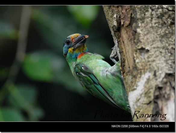 五色鳥0360