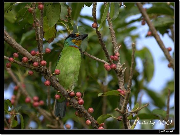 五色鳥(2008-10-17社頂公園)9071