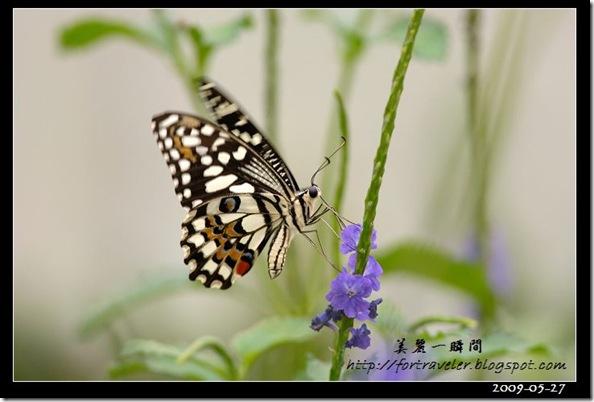 柑桔鳳蝶(2009-05-27花蓮高農)6371