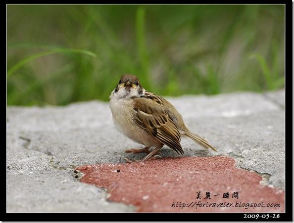 麻雀(2009-05-28花農)1607