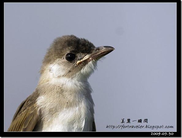 烏頭翁(2009-05-30七星潭)1745
