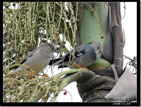 絲光椋鳥(2009-11-29宜蘭市臣氏鑑湖塘)070
