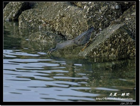 綠簑鷺(2010-01-27)4529