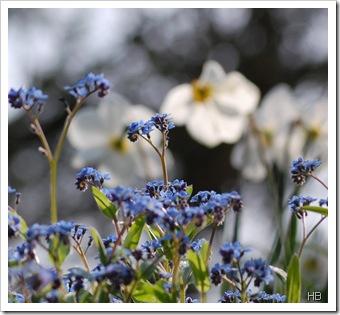 Vergissmeinnicht mit Narzisse © H. Brune
