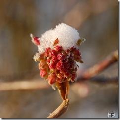 Blüte des Schneeballs mit Schnee © H. Brune