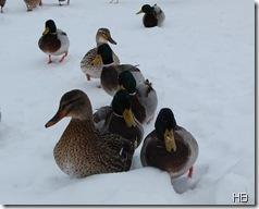Stockenten im Schnee © H. Brune