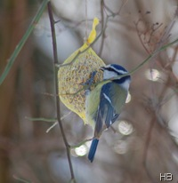 Blaumeise am Meisenknödel © H. Brune
