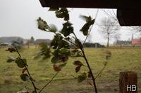 Kirschlorbeer im Sturm © H. Brune