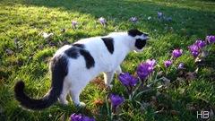 Krokus mit Katze © H. Brune