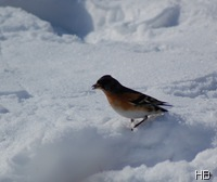 Bergfink im Schnee © H. Brune