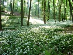 Bärlauchfeld im Teutoburger Wald © H. Brune