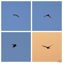 Feldlechte im Flug © H. Brune