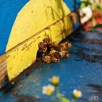 Bienen am Flugloch © H. Brune