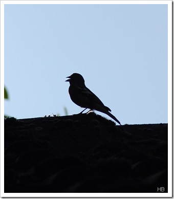 Singender Buchfink © H. Brune