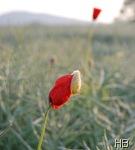 Roter Klatschmohn © H. Brune