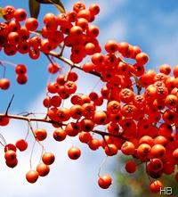Beeren des Feuerdorns © H. Brune