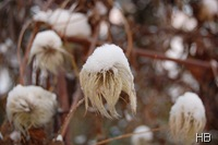 Clematis unter Schnee © H. Brune