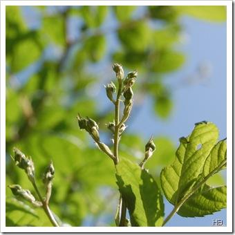 Knospen der Ramblerrose