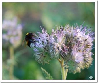 Phacelia mit Hummel © H. Brune