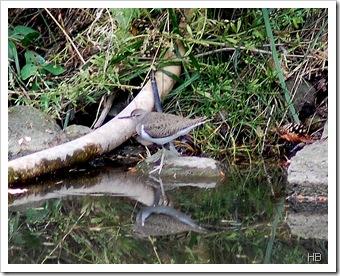 Flussuferläufer © H. Brune