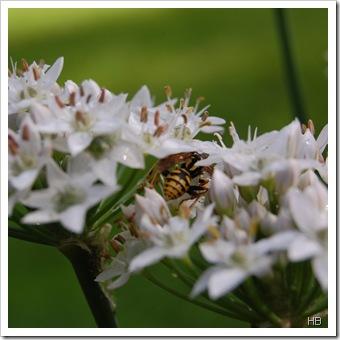 Wespe in Lauchblüten © H. Brune