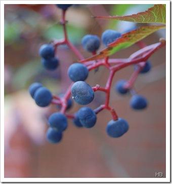 Weintrauben © H. Brune