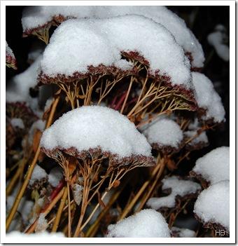 Fetthenne unter Schnee © H. Brune
