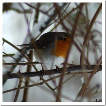 Rotkehlchen im Winter © H. Brune