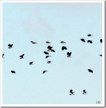 Kiebitze im Flug © H. Brune