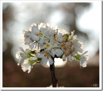 Kirschblüte © H. Brune