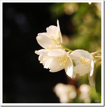 Blüte des Echten Jasmins © H. Brune